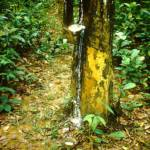 Kautschukplantage im Bundesstaat Johor, Malaysia. Kautschukplantage im Bundesstaat Johor, Malaysia. | Bild (Ausschnitt): © Spielvogel [CC0 1.0] - Wikimedia Commons