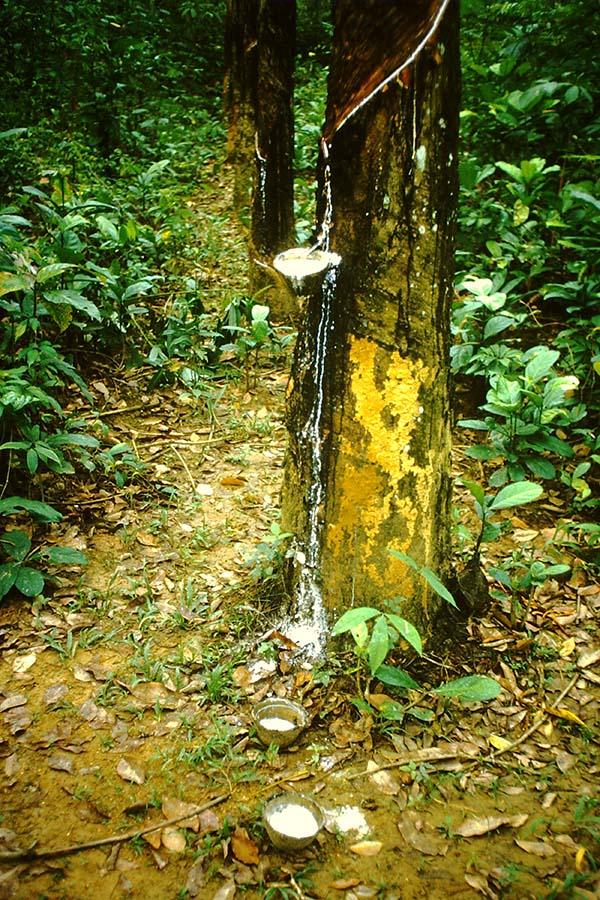 Kautschukplantage im Bundesstaat Johor, Malaysia.