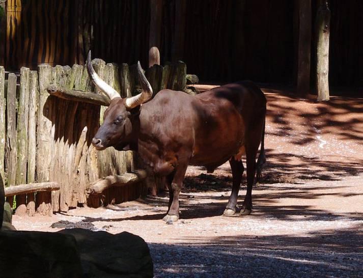 Watussi-Rind Watussi-Rind |  Bild: © Baird's Tapir [CC BY-SA 3.0]  - WikimediaCommons