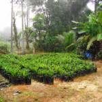 Ölpalmen im Regenwald. Ölpalmen im Regenwald. | Bild (Ausschnitt): © Wagino 20100516 - Wikimedia Commons