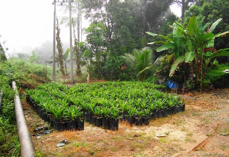 Ölpalmen im Regenwald.