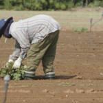 migrant worker field Besonders in der Landwirtschaft werden Immigranten unter inakzeptablen Bedingungen beschäftigt. | Bild (Ausschnitt): © CC-BY - Wikimedia Commons