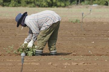 migrant worker field Besonders in der Landwirtschaft werden Immigranten unter inakzeptablen Bedingungen beschäftigt. |  Bild: © CC-BY - Wikimedia Commons