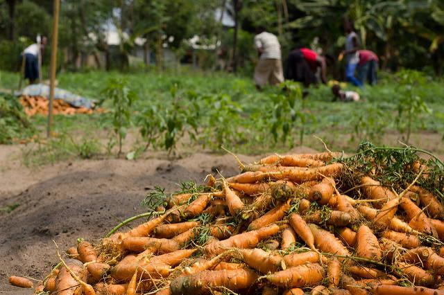 Karottenernte in Westafrika | Bild: © Chad Skeers [CC BY 2.0]  - Flickr
