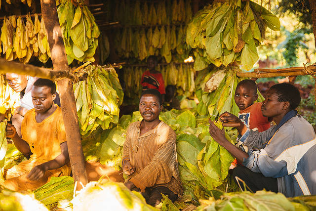 Trocknen von Tabakpflanzen in Malawi Die Tabakproduktion macht vor Ort die Menschen extrem krank und kontaminiert die Böden |  Bild: ©  IFPRI -IMAGES [CC BY-NC-ND 2.0]  - Flickr