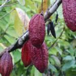 Kakaobohnen | Bild (Ausschnitt): © GIZ -