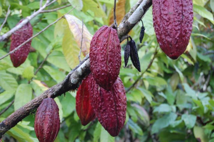 Kakaobohnen  Bild: © GIZ -