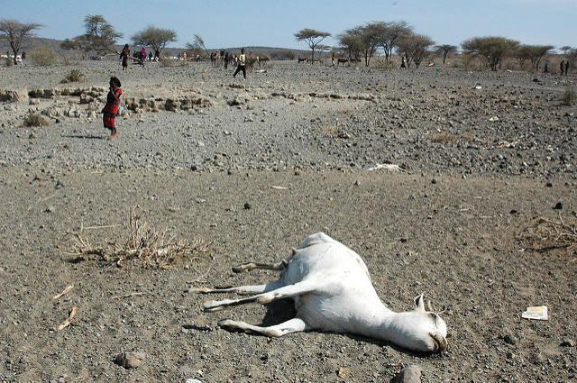 Trockenheit in der Oromia-Region Eine tote Ziege in der trockenen Oromia-Region    Bild: ©  Andrew Heavens [CC BY-NC-ND 2.0]  - Flickr
