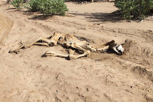 Kadaver eines Kamels in Nordkenia Wenn Kamele, wie in Nordkenia verdursten, ist die Situation kritisch. | Bild: ©  Trocaire [CC BY 2.0]  - Flickr