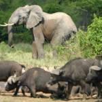 Afrikanische Waldelefanten und Wasserbüffel im Virunga Nationalpark in der demokratischen Republik Kongo. | Bild (Ausschnitt): © Radio Okapi [CC BY 2.0] - Wikimedia Commons