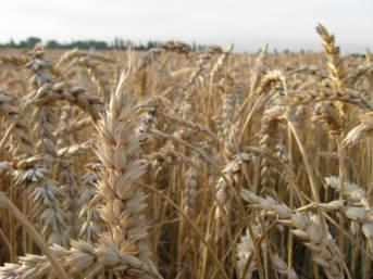 Getreidefeld Die Weizenpreise stiegen im Jahr 2007 in Somalia um 300 Prozent und im Senegal um 100 Prozent. | Bild: © Martin Vidner [CC BY 2.0]  - flickr