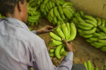 Bei Monoprodukten wie der Banane können nur bestimmte Siegel wie Fairtrade den fairen Handel gewährleisten.   Bild: © AMISOM [CCo 1.0]  - Flickr