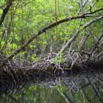 Mangroven können Menschenleben retten. Zum einen verhindern ihre Wurzeln, dass der Boden durch die Gezeiten abgetragen wird, zum anderen brechen ihre Stämme und Blätter den Wind sowie die Wellen und verhindern dadurch Überschwemmungen - oder mindern sie. | Bild (Ausschnitt): © Ravi Sarma [CC BY 2.0] - flickr