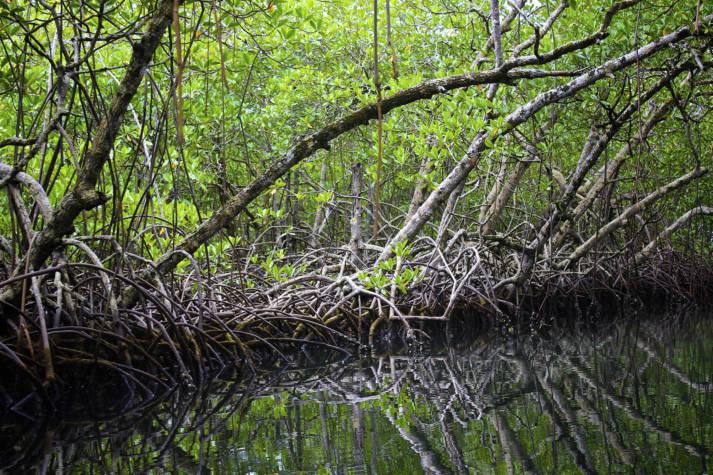 Mangroven können Menschenleben retten. Zum einen verhindern ihre Wurzeln, dass der Boden durch die Gezeiten abgetragen wird, zum anderen brechen ihre Stämme und Blätter den Wind sowie die Wellen und verhindern dadurch Überschwemmungen - oder mindern sie.   | Bild: © Ravi Sarma [CC BY 2.0]  - flickr