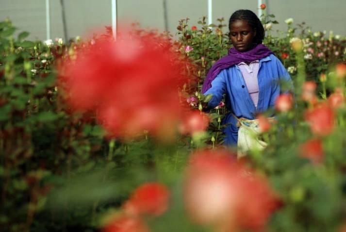 Äthiopische Arbeiterin bei der Rosenernte |  Bild: © Yonat945 [CC-BY-SA-4.0]  - Wikimedia Commons